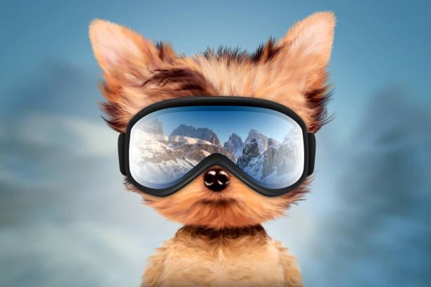Funny Dog wearing ski goggles. Christmas concept stock photo