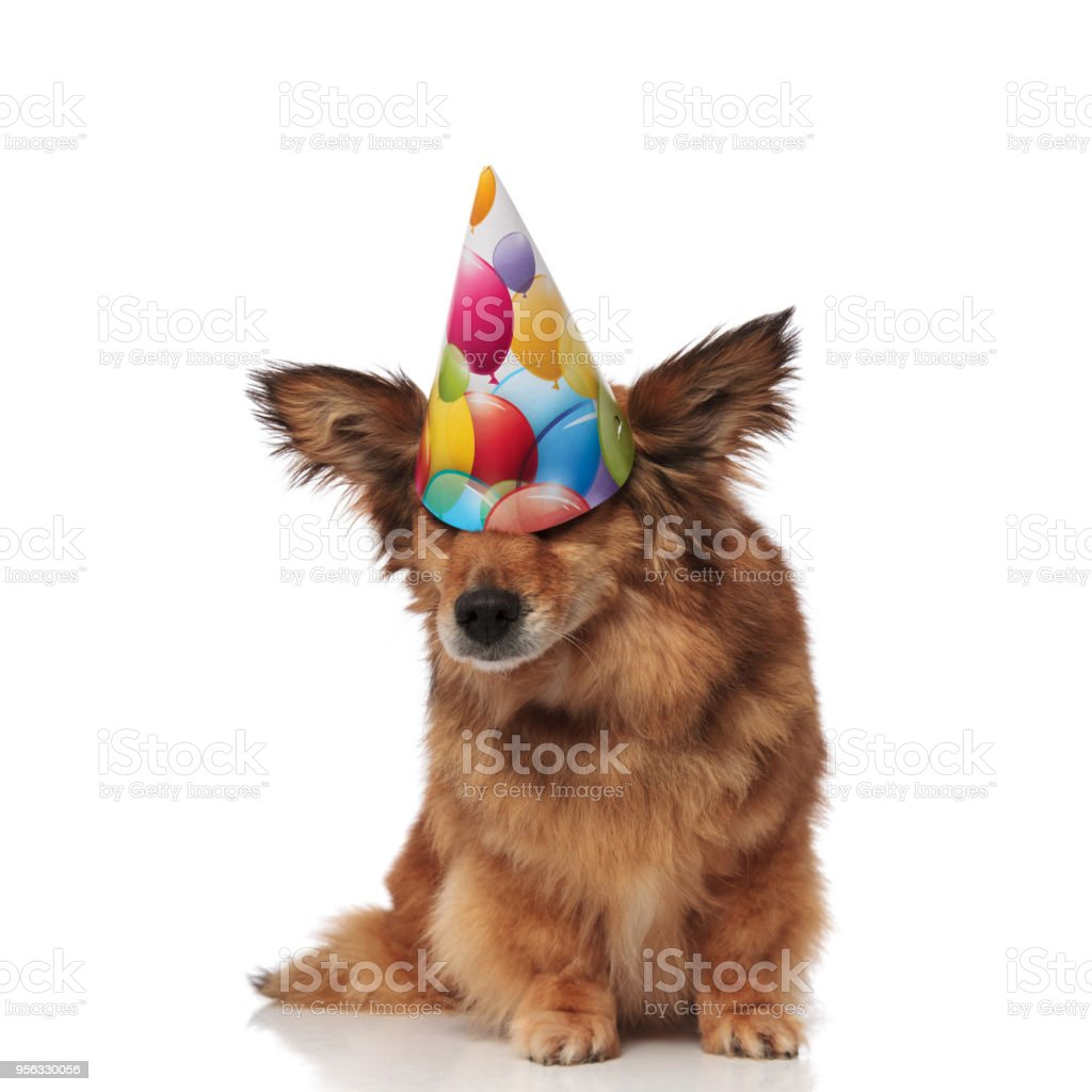 Funny Dog Wears Birthday Hat That Covers Its Eyes