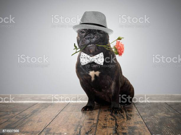 Funny dog with a flower in his mouth french bulldog in a hat with a picture id874937566?b=1&k=6&m=874937566&s=612x612&h=4zyur9mw9y zzcfmg9shvjo2jct3 f4 pp kpgjyjo8=