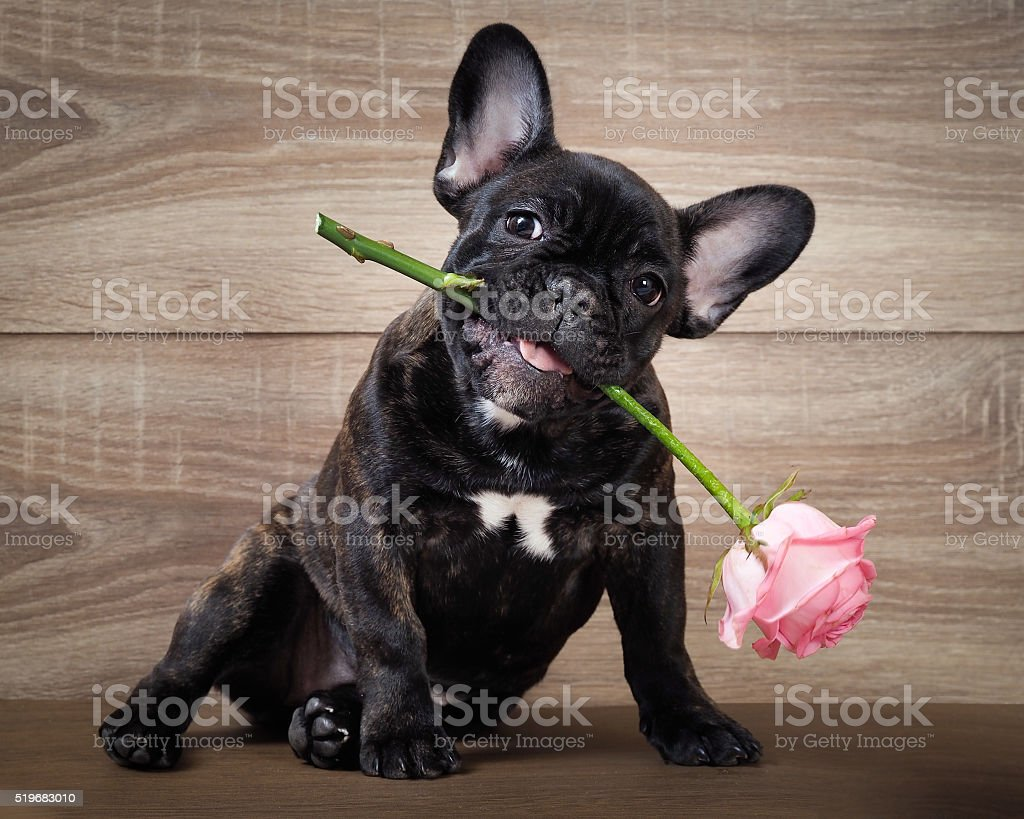 Funny dog with a flower in his mouth stock photo
