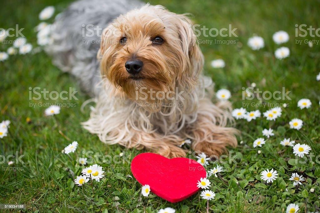 gracioso perro con un corazón rojo - foto de stock
