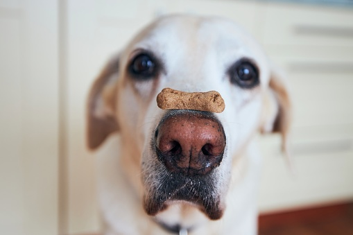 Lab dog in kitchen with biscuit on nose.