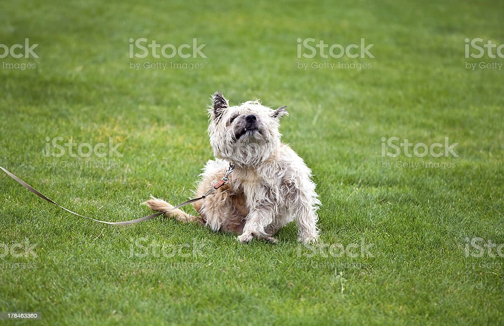 funny dog with fleas stock photo