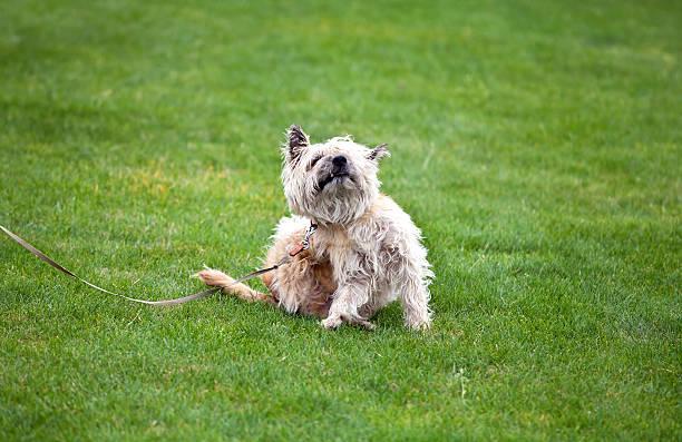 funny dog with fleas foto