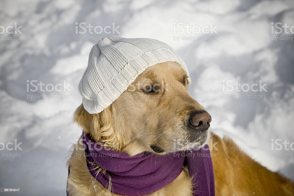 Funny dog with hat royalty-free stock photo