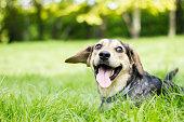 面白いの犬、彼の舌出力