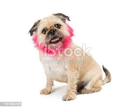 Brussels Griffon crossbreed dog groomed with lion mane haircut dyed pink color