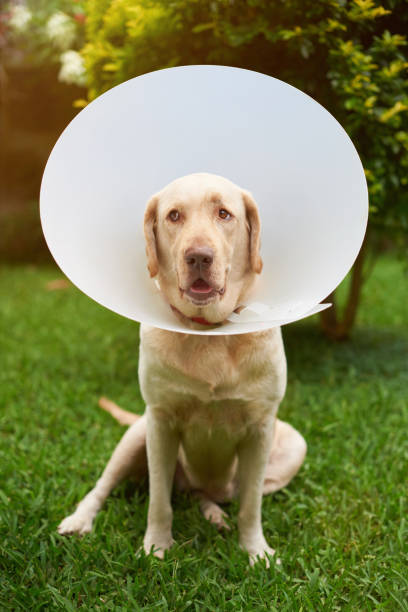 Funny dog with plastic collar stock photo