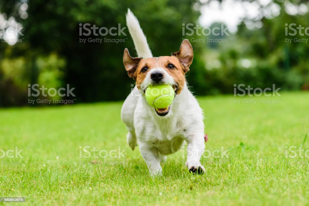 Funny dog with tennis ball in jaws playing at lawn - Photo