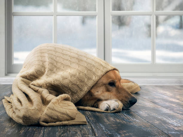 Funny dog wrapped in a warm blanket. Outside the window snow, winter stock photo