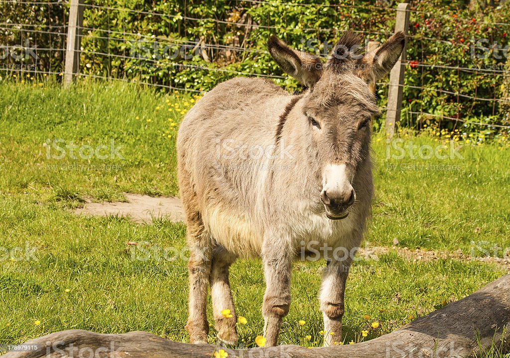 Funny donkey in a Field on sunny day royalty-free stock photo