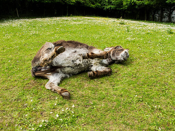 funny donkey lying on the meadow stock photo