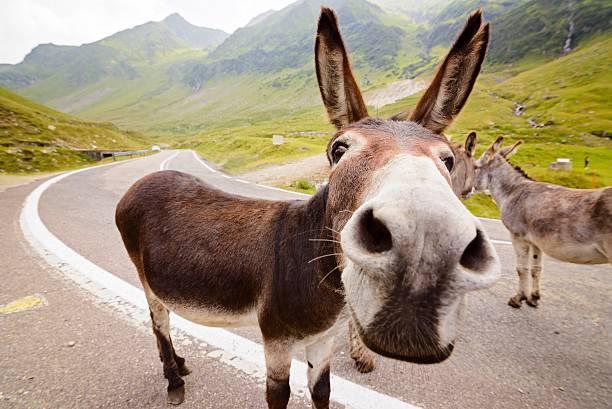 funny donkey on road - lustige pferde stock-fotos und bilder