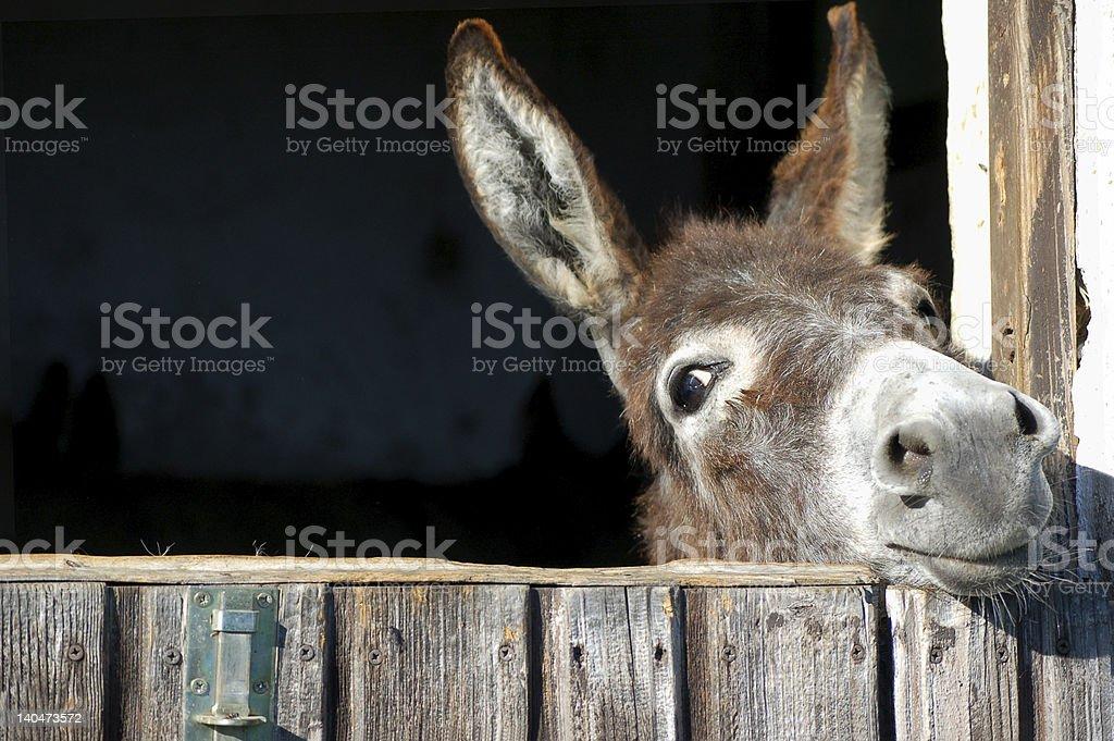 Lustiger Esel – Foto