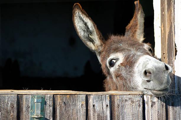 Funny Donkey stock photo