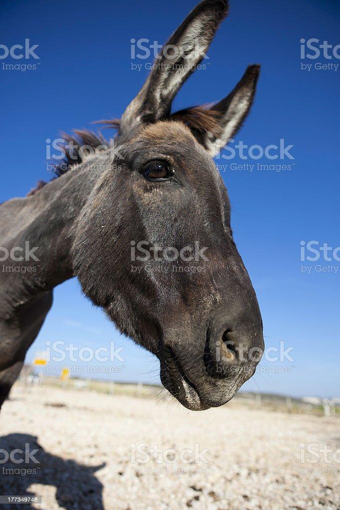Funny Donkey royalty-free stock photo