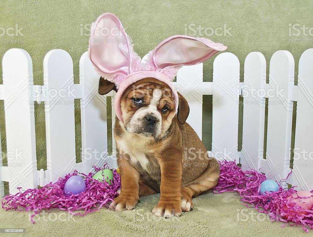 Funny Easter Bulldog stock photo
