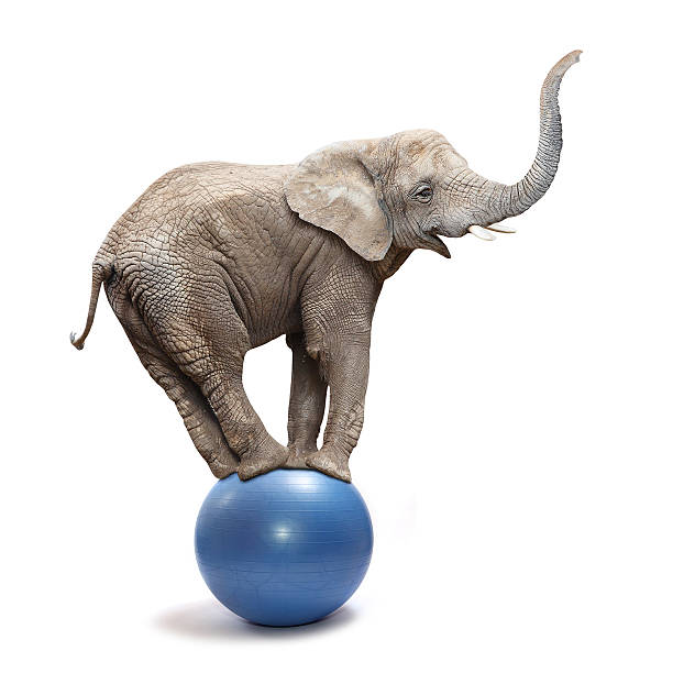 Funny elephant. African elephant (Loxodonta africana) balancing on a blue ball. animal trunk stock pictures, royalty-free photos & images