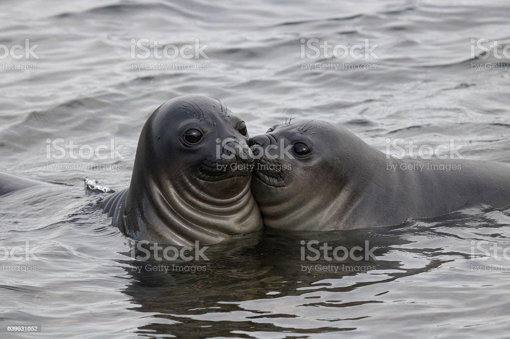 Funny elephant seals stock photo