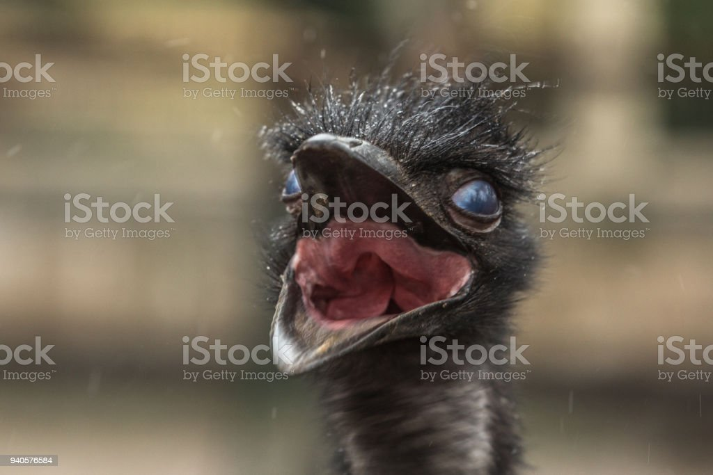 Funny Emu laughing stock photo