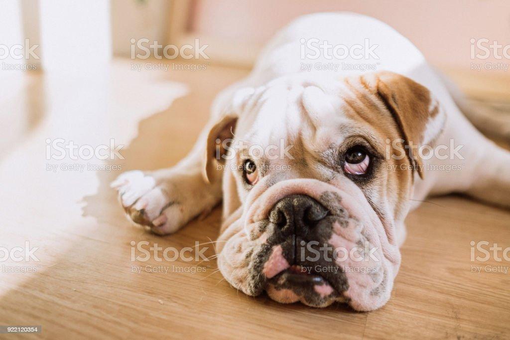Funny english bulldog stock photo
