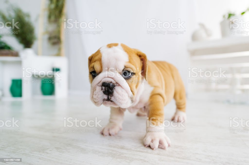 Funny English Bulldog Puppy Stand On A Floor At Home Stock Photo