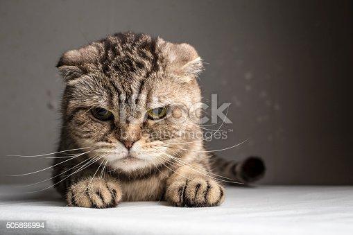 istock funny evil gray striped cat 505866994