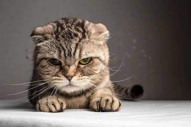 funny evil gray striped cat - rudeness stock pictures, royalty-free photos & images