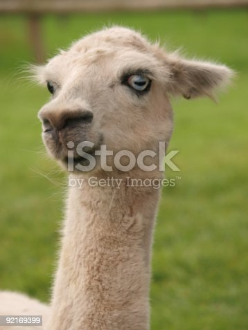 Funny Face Llama Stock Photo More Pictures Of Anthropomorphic Face Istock