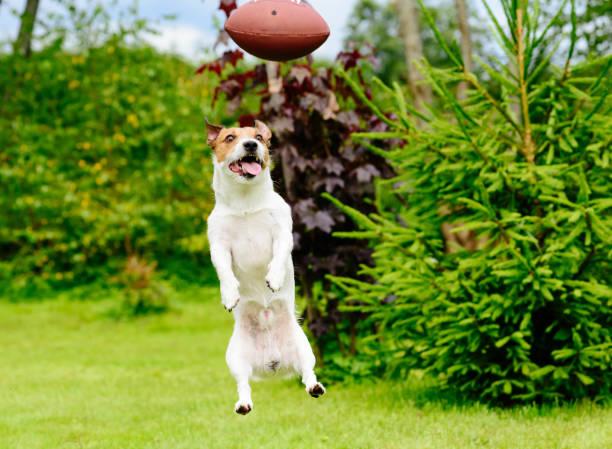 Drôle de tête de chien, jouer au football américain fantastique au jardin - Photo