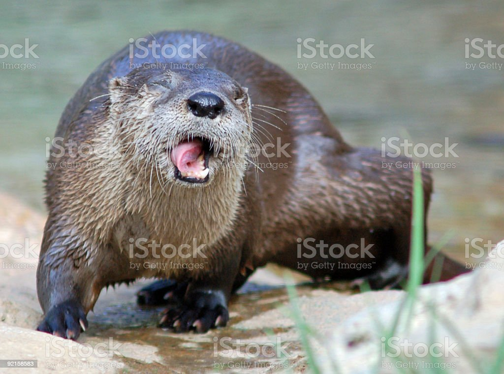 Funny Face Otter royalty-free stock photo