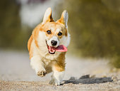 Funny face Welsh Corgi Pembroke running with tongue out