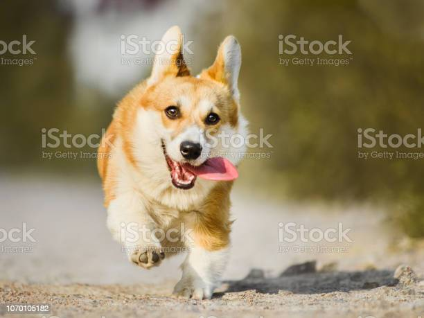 Funny face welsh corgi pembroke running with tongue out picture id1070105182?b=1&k=6&m=1070105182&s=612x612&h=jkjsg8 1ht5bt7rmuaiy51fjhx62krksjf7mfpzrx14=