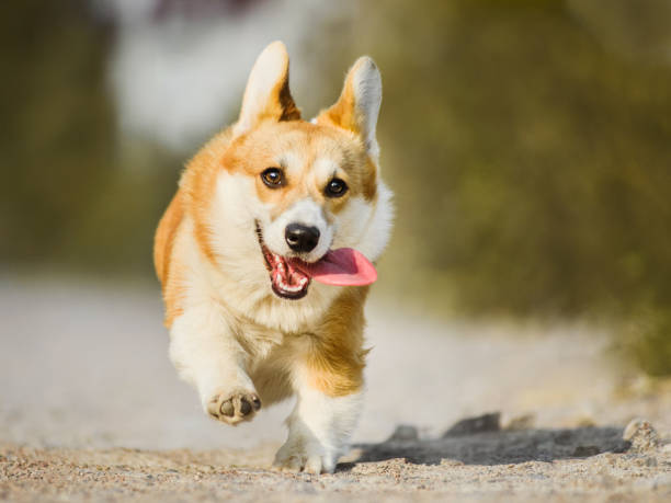 Funny face welsh corgi pembroke running with tongue out picture id1070105182?b=1&k=6&m=1070105182&s=612x612&w=0&h=yqp2mxtlc0c3rutynegeievscprxr9trzjpbswtvpty=