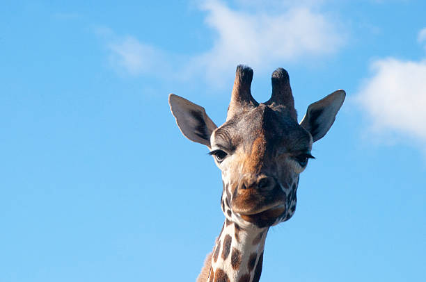 Funny faced Giraffe stock photo