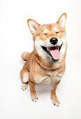 A 1 year old Shiba Inu dog makes a silly, funny face.