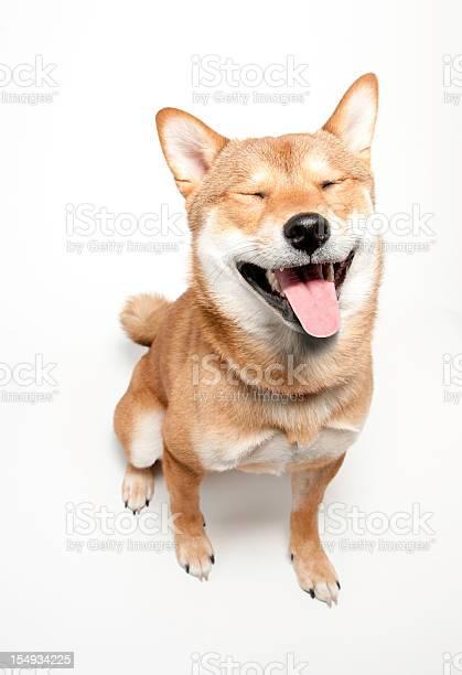 Funny faced shiba inu dog picture id154934225?b=1&k=6&m=154934225&s=612x612&h= jzw9bxr7sjhaoj9aq2 txrw42r jxulcw2zi0le di=