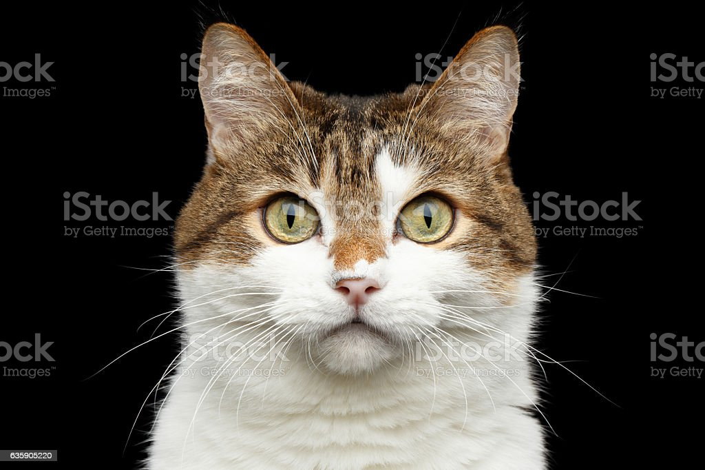 Funny fat cat on isolated black background stock photo