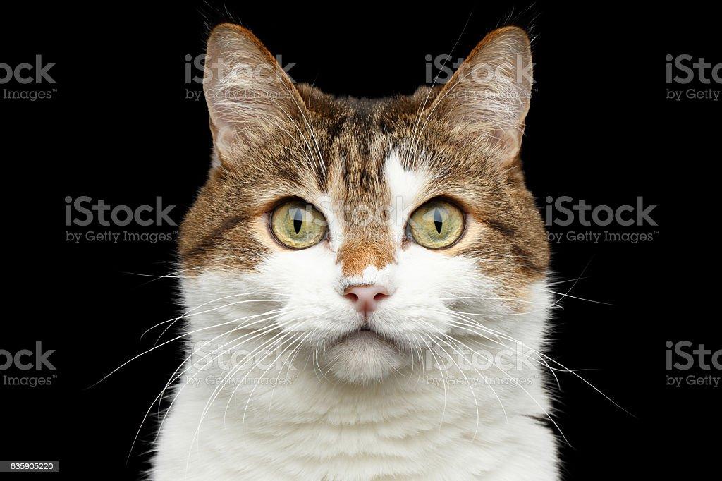 Funny fat cat on isolated black background - foto de acervo