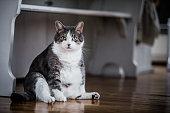 Obeze cat series at home. British sort hair. 9 kg.