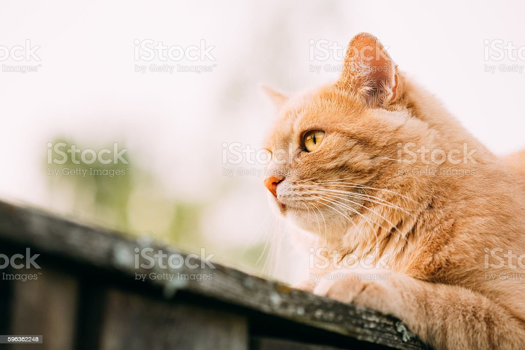 Funny Fat Red Cat Sitting On Fence In Summer Day royalty-free stock photo