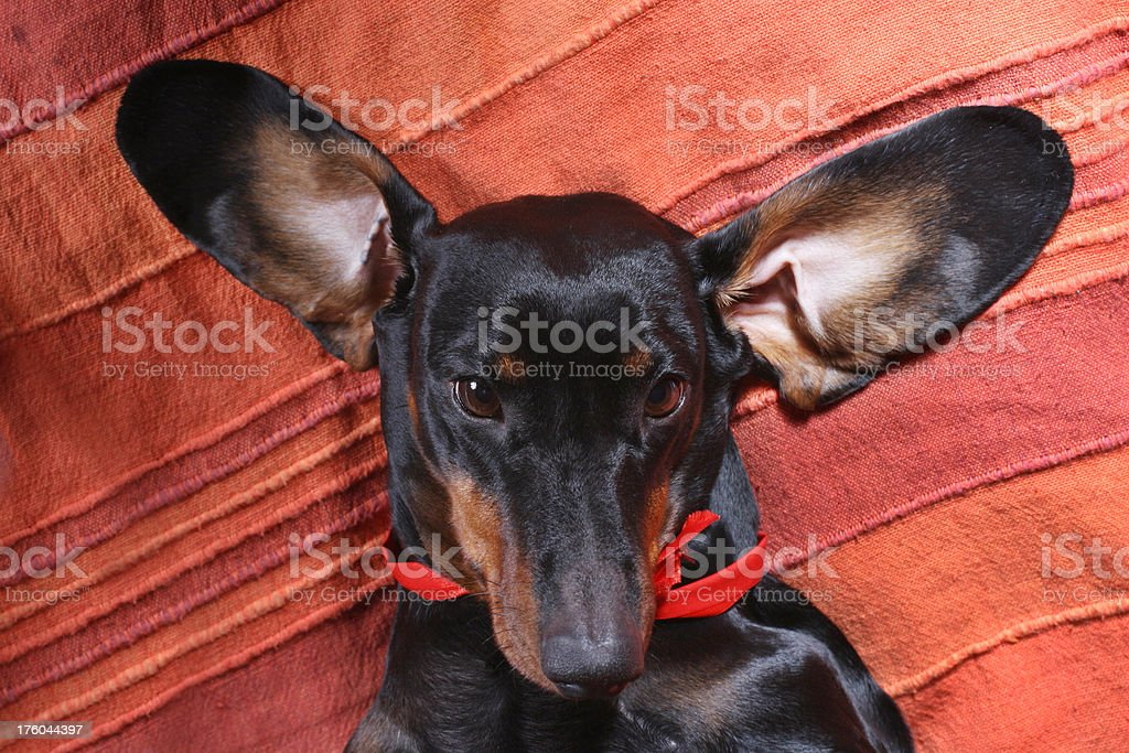 Funny female dachshund with the ears apart stock photo
