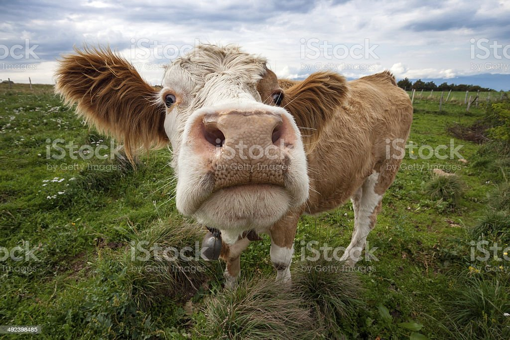 Funny fisheye nose shot of a cute cow stock photo