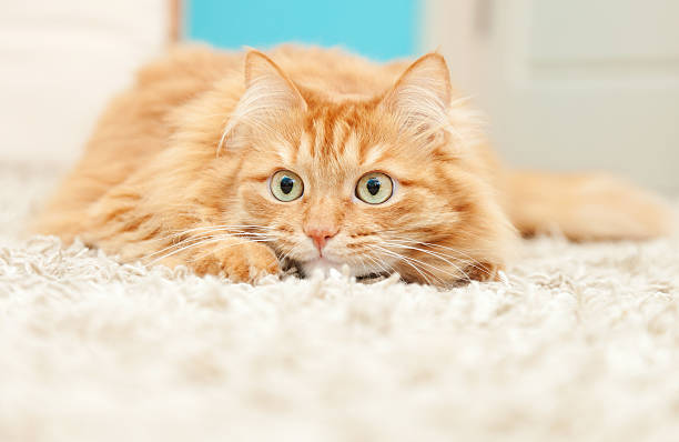 Funny fluffy ginger cat lying picture id501535139?b=1&k=6&m=501535139&s=612x612&w=0&h= tg8t5jq3nae2wgtdtzqg3jp5mcomlnljbwyhnfirim=