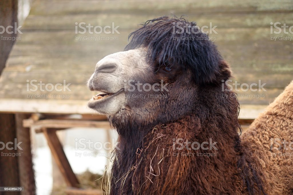 Funny fluffy laughing camel in the zoo, close up stock photo