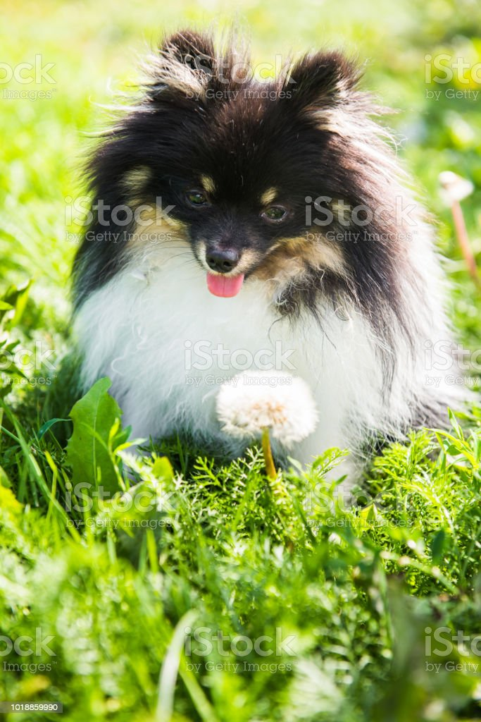Funny fluffy Pomeranian dog and summer flowers outside