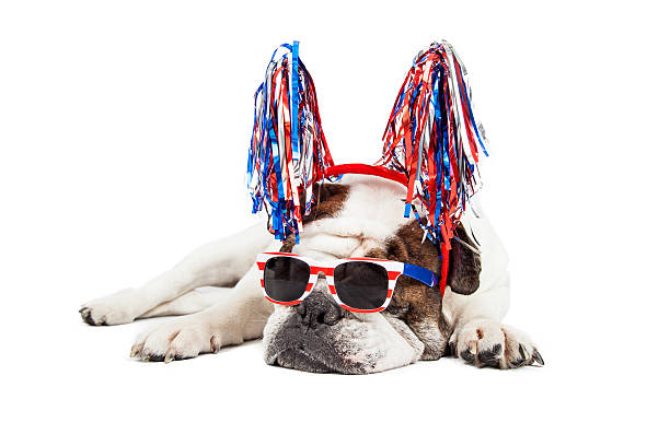 Funny Fourth of July Dog Funny photo of a Bulldog breed dog wearing red, white and blue sunglasses and pom-pom headband independence day holiday stock pictures, royalty-free photos & images