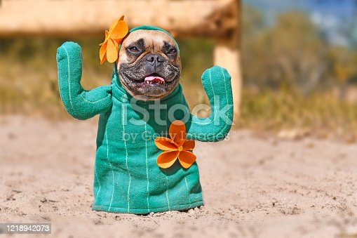 Funny fawn colored French Buldog dog dressed up with homemade green cactus Halloween costume with fake arms and orange fowers standing on sandy ground