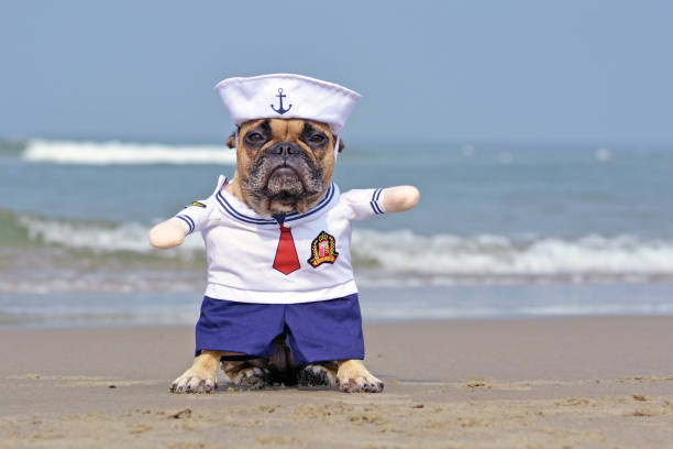 Funny French Bulldog dressed up with a cute sailor dog Halloween costume on beach with ocean in background dog haloween costume sailor hat stock pictures, royalty-free photos & images