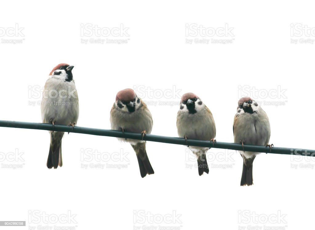 funny friendly little birds sitting on a wire on white sky background stock photo